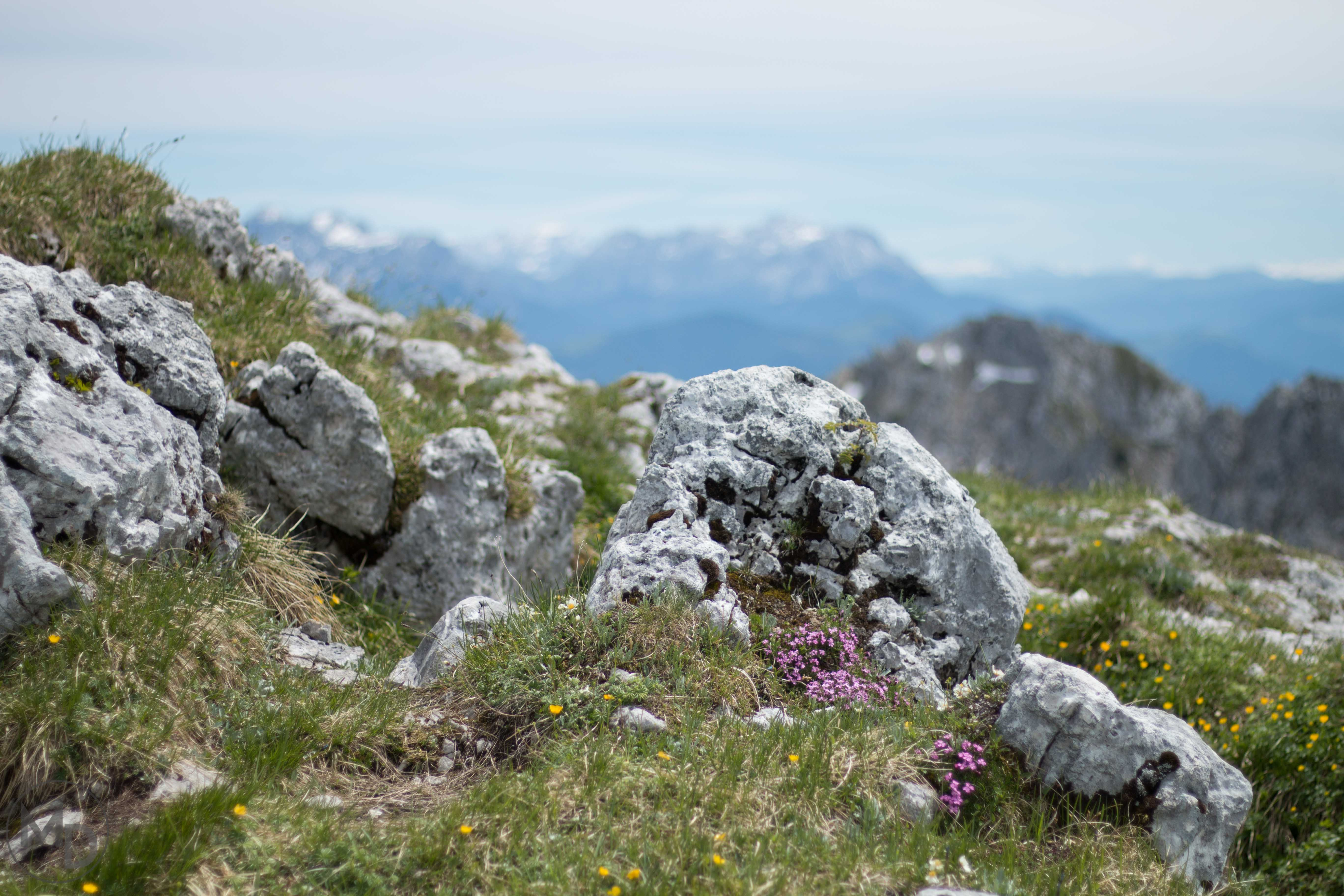 alpine flowers