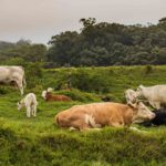 Cows in the Jungle